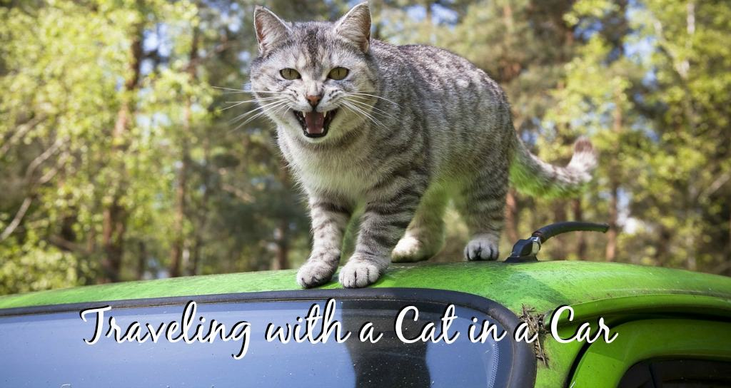 traveling with a cat in the car
