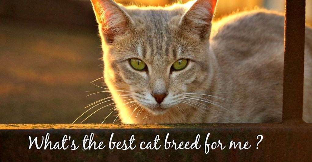 best cat breed for me header