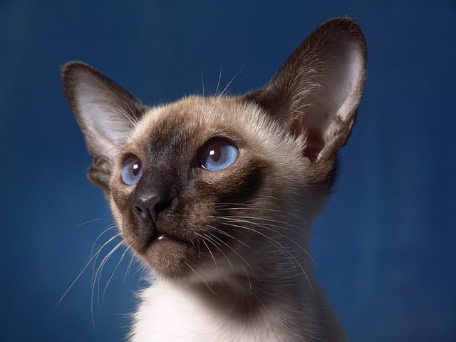 best cat breed for me siamese