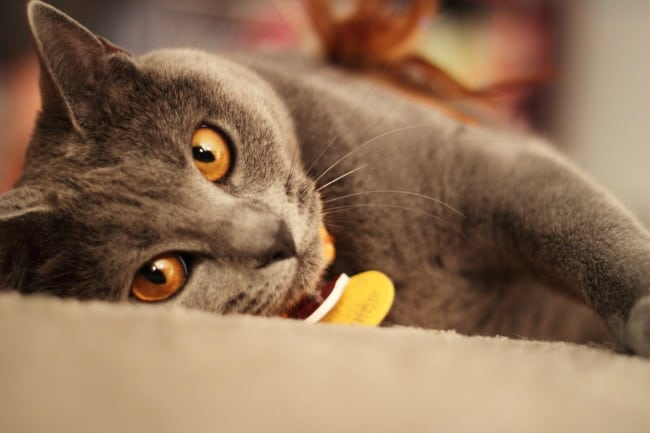 chartreux best cat breed for me