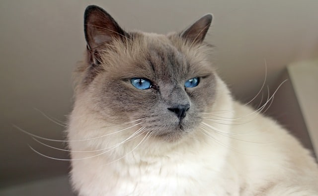 sacred-birman best cat breed for me