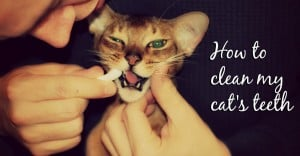 How to clean my cat's teeth header