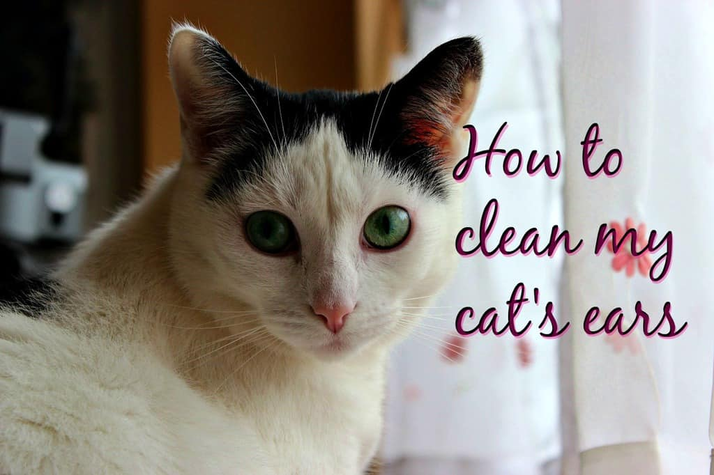 How to clean my cat's ears