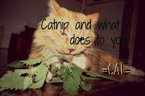 What does catnip do to your cat