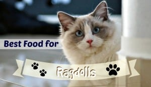Best Cat Food for Ragdolls header