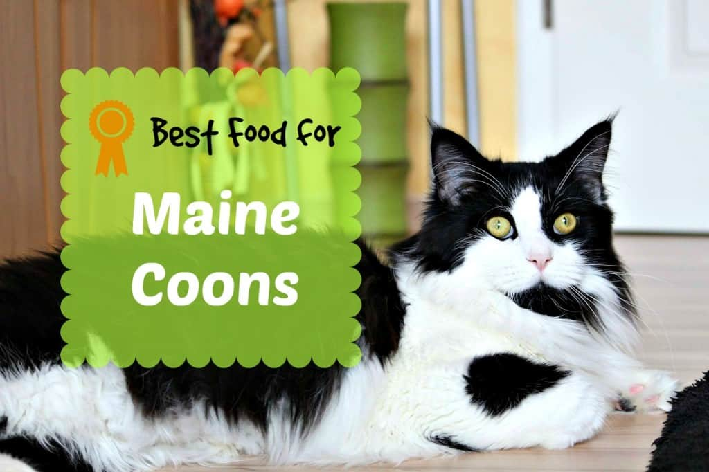 best cat food for maine coons header