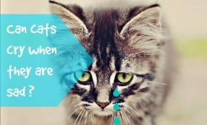 can cats cry when they are sad header