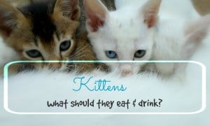 what should kittens eat & drink