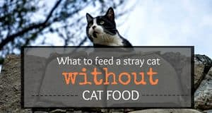 what to feed a stray cat without cat food header