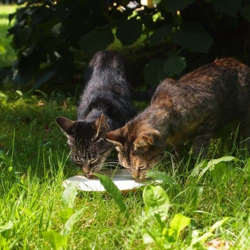 stray cats drinking milk