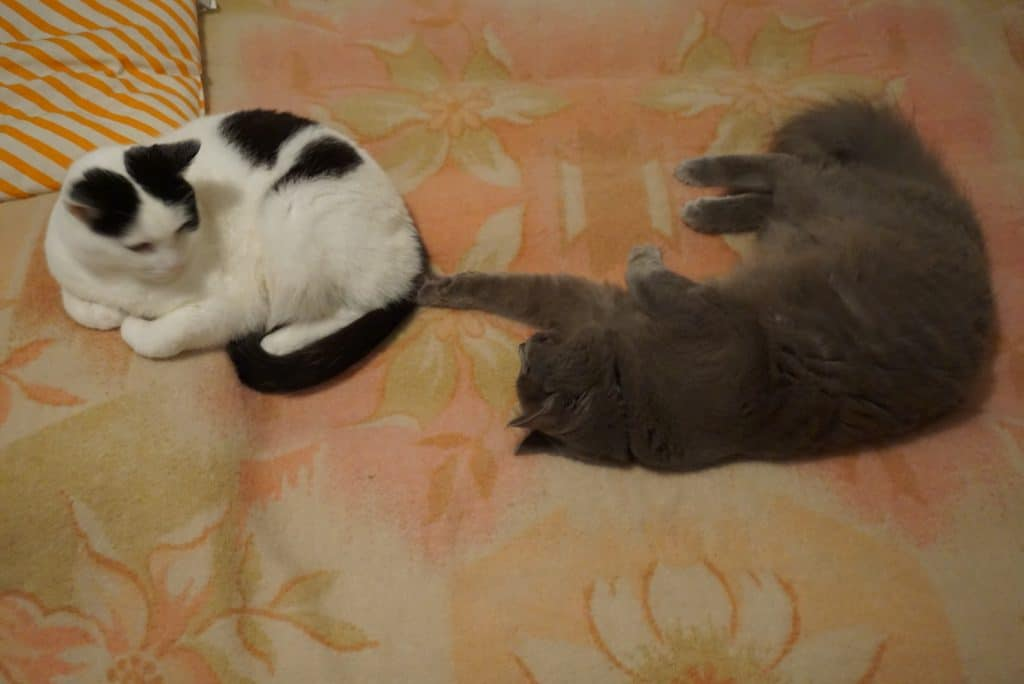 how to introduce two cats | yoda and peter