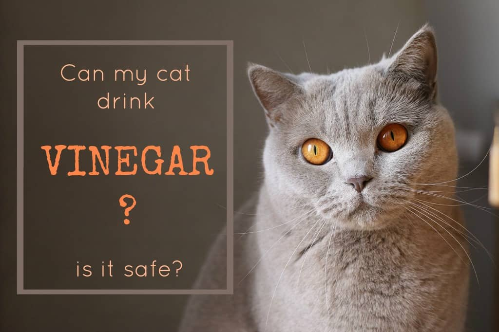 Can cats drink vinegar?