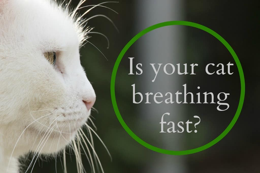 My Cat's Breathing Fast: What Should I Do?
