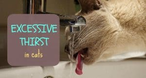 Excessive thirst in cats | Fluffy Kitty