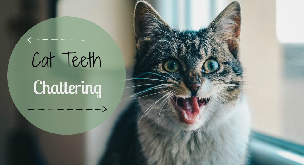 Cat Teeth Chattering | Fluffy Kitty