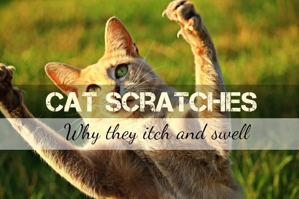 Why Do Cat Scratches Itch and Swell? | Fluffy Kitty
