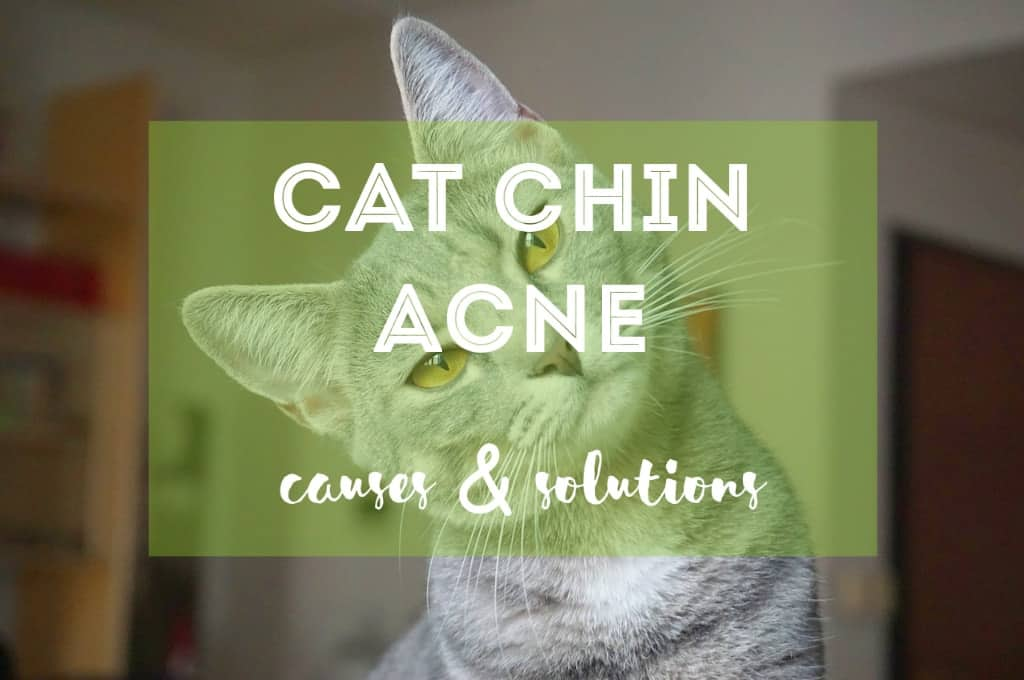 Cat Chin Acne | Fluffy Kitty