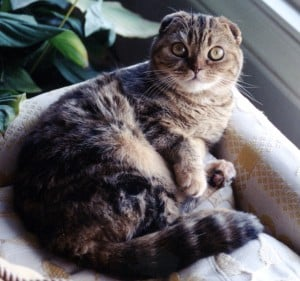 10 best cats for cuddling - scottish fold