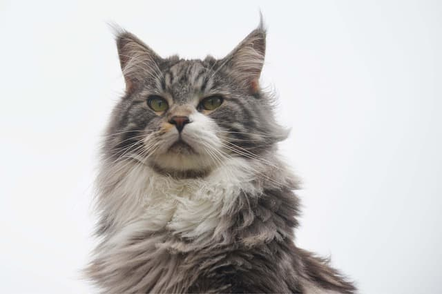 main coone best cat breed for me