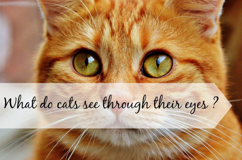 what do cats see through their eyes header