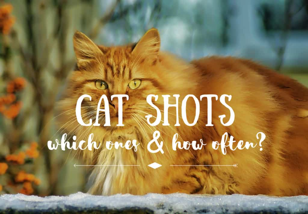 How often do cats need shots | Fluffy Kitty