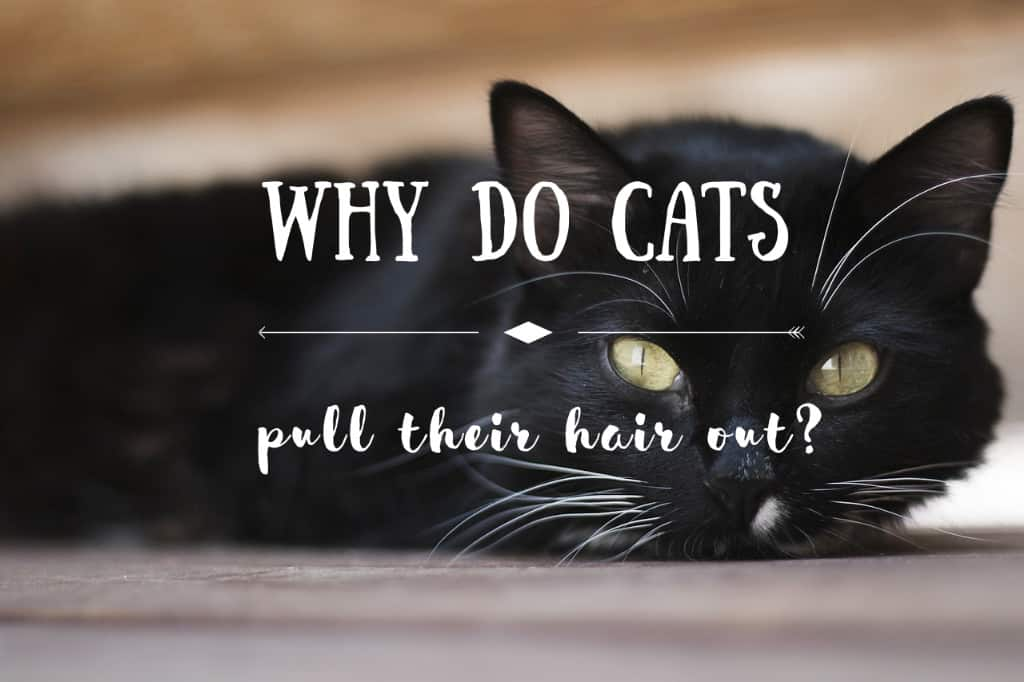 Why do cats pull their hair out | Fluffy Kitty