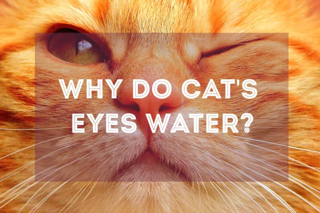 Why Do Cat S Eyes Water Causes Amp Solutions Fluffy Kitty