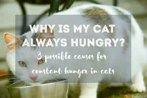 Why is My Cat Always Hungry? | Fluffy Kitty