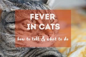 How to Tell If a Cat Has a Fever | Fluffy Kitty