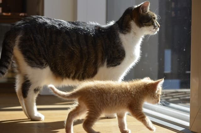 Ultimate Guide to Cat Pregnancy   Fluffy Kitty