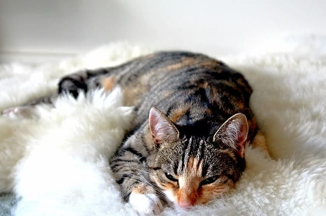 Best Cat Heating Pads   Fluffy Kitty