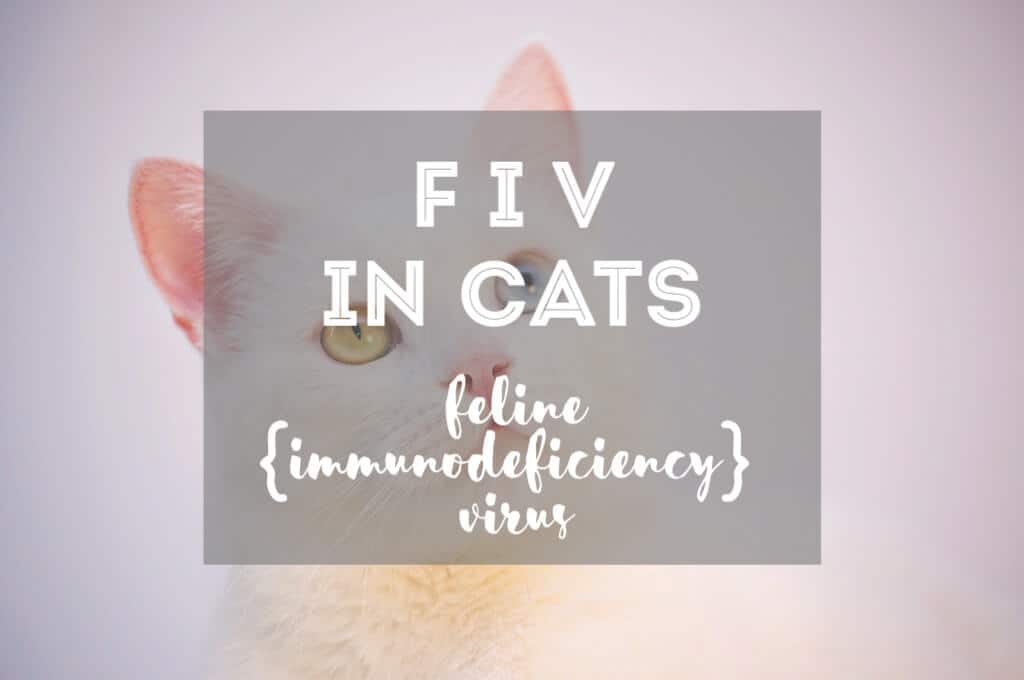 FIV in Cats | Fluffy Kitty