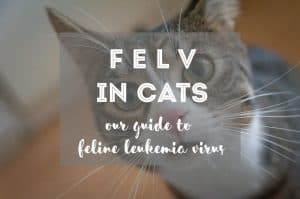 FeLV in Cats : Guide to Feline Leukemia Virus | Fluffy Kitty